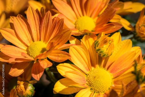 Fotografie, Obraz  gelbe Blüte der Chrysantheme