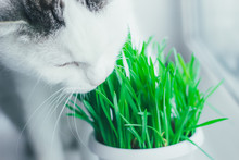 White Cat Eating Green Grass I...