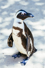 Beautiful Penguin