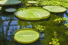 """Gigantic """"Santa Cruz Water Lily"""" Pads"""