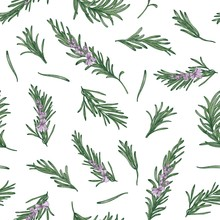 Herbal Seamless Pattern With Rosemary Sprigs On White Background. Backdrop With Blooming Fragrant Herb. Elegant Vector Illustration In Vintage Style For Wrapping Paper, Fabric Print, Wallpaper.