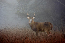 White-tailed Deer Buck With Huge Neck In The Early Morning Fog Standing In A Meadow In Autumn Rut In Canada