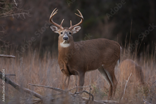 Poster Deer White-tailed deer buck standing in a meadow in autumn rut in Canada