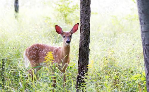 Poster Deer White-tailed deer fawn (Odocoileus virginianus) walking in the forest in Canada