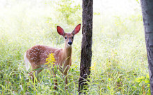 White-tailed Deer Fawn (Odocoileus Virginianus)  In The Early Morning Light In The Forest In Canada