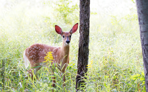 Fotografija White-tailed deer fawn (Odocoileus virginianus)  in the early morning light in t