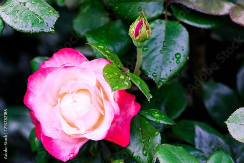 One The Beautiful Big Blossoming Bud Of A Rose Of Red Pink White