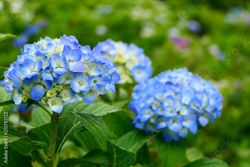 Fototapeta  紫陽花。十日町あじさい公園。十日町 新潟 日本。7月初旬。