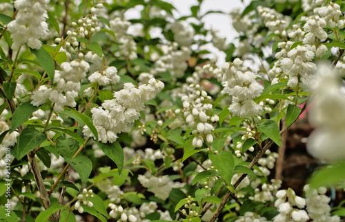 Blooming Fuzzy Deutzia Flower Deutzia Scabra In Pure White Color