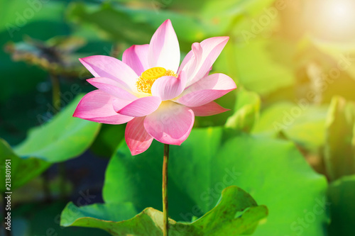 Staande foto Lotusbloem Beautiful pink lotus flower in blooming