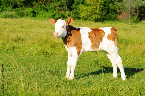 Photo spotted calf