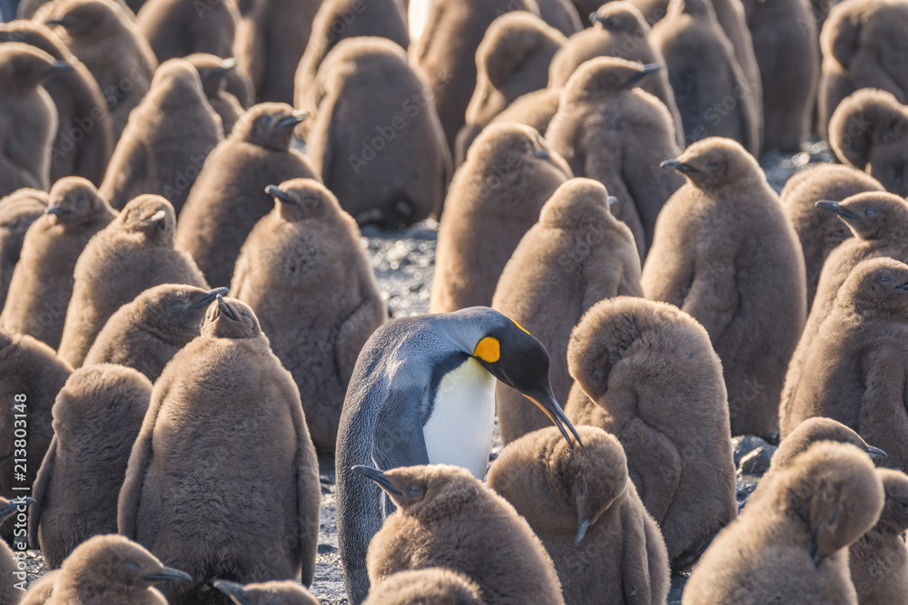 Adult King Penguin and Chicks, South Georgia Island, Antarctic