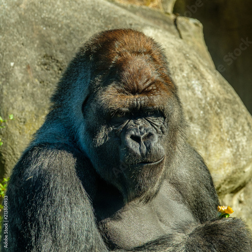 Canvas Prints Monkey Silverback Gorilla has eaten a pepper.