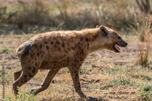 In de dag Hyena Hunting spotted hyena