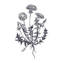 Vector Hand Drawn Dandelion Illustration