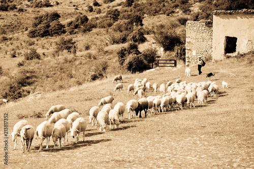Herd in Abruzzo Region, Italy Canvas Print