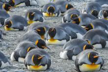 King Penguins Resting, South G...
