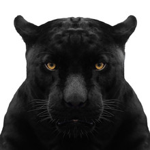 Black Panther Shot Close Up Wi...