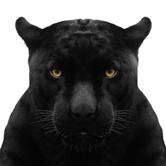 Fototapeta Pantera black panther shot close up with white background