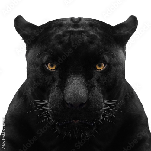 Photo sur Toile Panthère black panther shot close up with white background