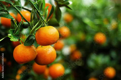 View on a branch with bright orange tangerines on a tree. Hue, Vietnam.