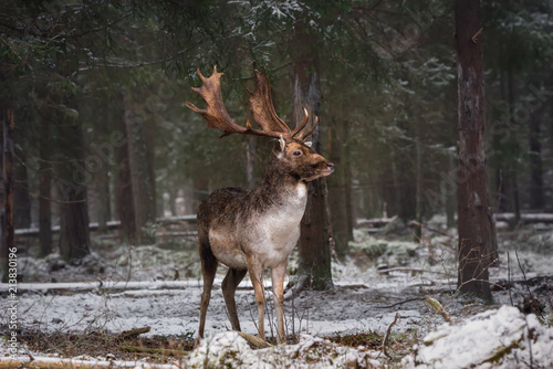 Foto op Aluminium Hert Motionless Gorgeous Fallow Deer Buck In Winter Forest. Adult Deer With Huge Horns Looks To The Right. Winter Wildlife Landscape With Trophy Deer Stag ( Dama Dama, Daniel ). Wild Nature Of Belarus