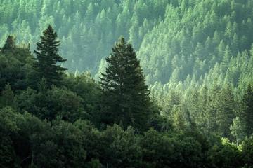 FototapetaPine Forest in Wilderness Mountains