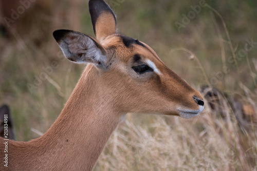 Fotobehang Antilope Female Impala Antelope in Kruger National Park, South Africa