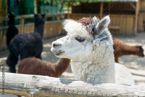 Spoed Foto op Canvas Lama Alpaca, the lama looks at visitors through the fence of the zoo. Life in captivity.