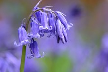 Close Up Of A Bluebell Flower ...