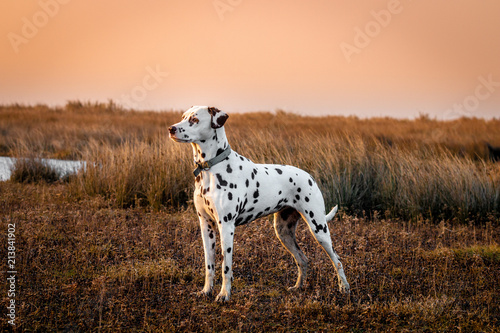 Fototapeta Dalmatian (saltmarsh at sunset) obraz
