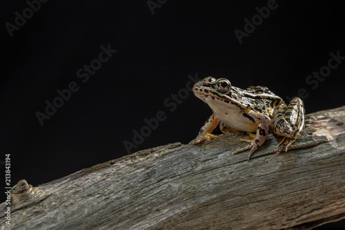 Foto op Canvas Kikker A frog posing on a dead tree with a black background