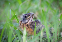 Baby Bird Robin In Spring Look...