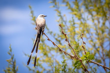 Scissor-tailed Flycatcher (Tyrannus Forficatus) Perched On A Branch