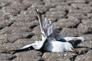 dead seagull, killed by the blades of a wind turbine