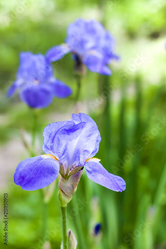 Foto op Plexiglas Iris Blue iris flower closeup on green garden background