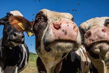 Cow Selfie , Cheese