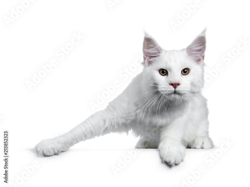Photo  Solid white Maine Coon cat kitten with attitude standing ready to jump (like ice