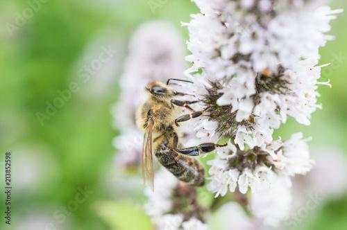 Plakat Pszczoła