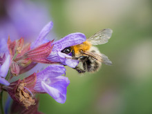 A Common Carder Bee Feeding On The Blossoms Of Common Sage