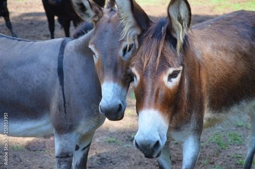 Obraz na plátne two donkey friends