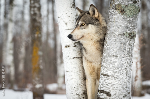 Grey Wolf (Canis lupus) Between Trees Looking Left
