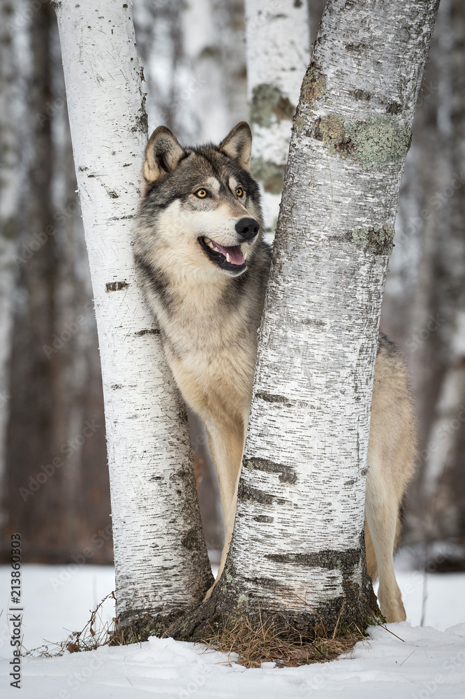 Grey Wolf (Canis lupus) Smiles Right