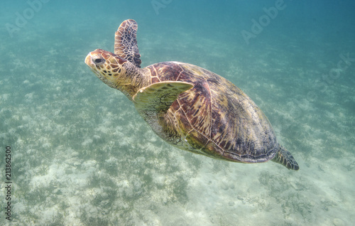 Deurstickers Schildpad Green Sea Turtle Swimming Underwater