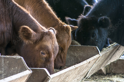 Red angus Cattle Poster