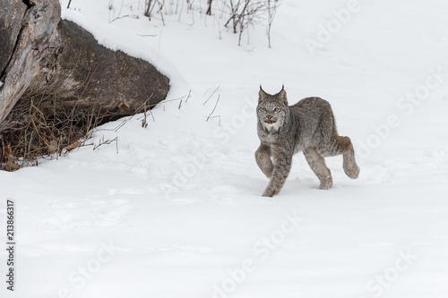 Fototapeta premium Canadian Lynx (Lynx canadensis) Walking