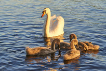 Swan Mother With Chicks Floating On Lake At Sunset. Mute Swan Family. Beautiful Young Swans In Lake. Selective Focus