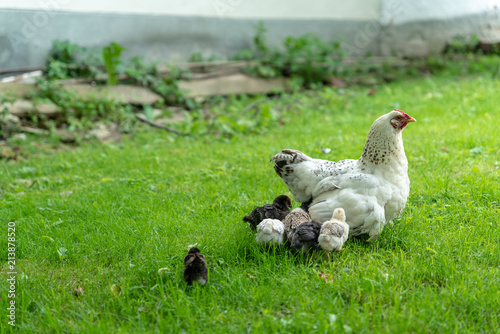 Photo Little chicks with mother chicken walking on grass