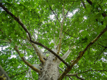 Big Sycamore Tree - Shot From The Trunk To The Crown