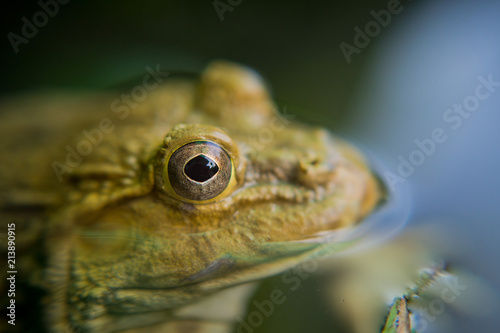 Tuinposter Kikker closeup frog, frog in the water